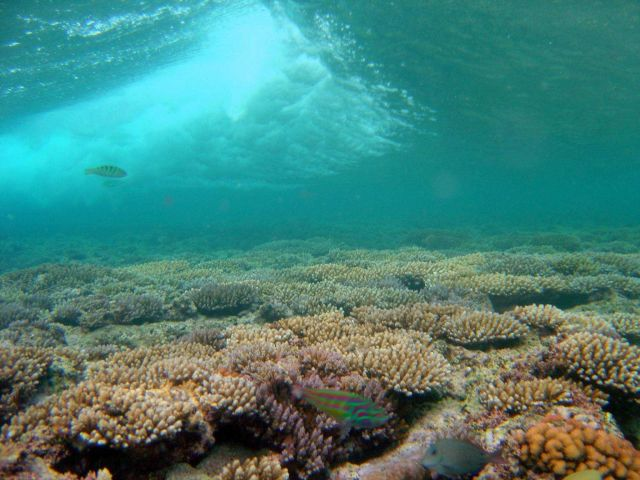 Fivestripe (Thalassoma quinquevittatum) wrasse in foreground with breaking wave over shallow reef Picture