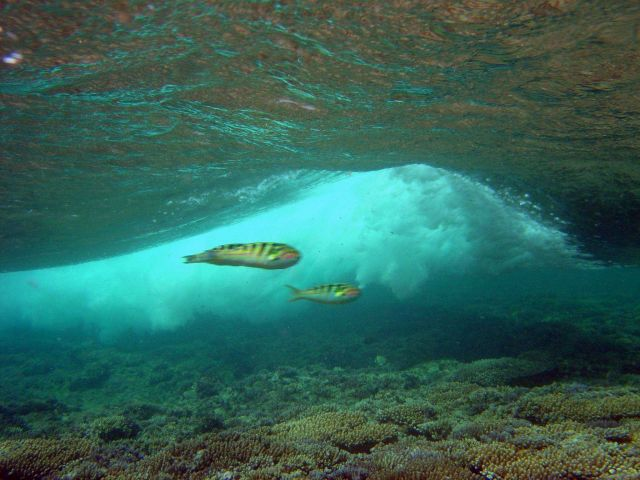 Sixbar wrasse (Thalassoma hardwicke) with breaking wave over shallow reef. Picture
