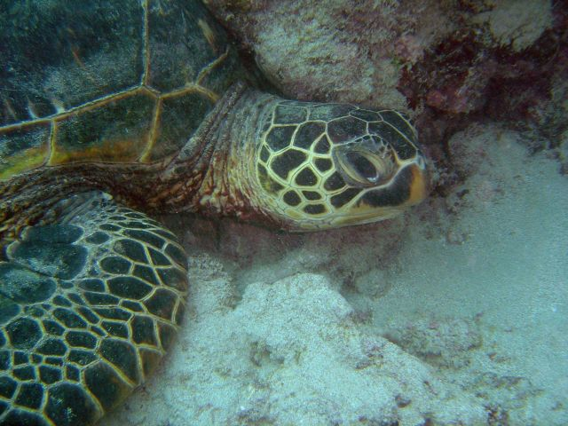 Green turtle Picture