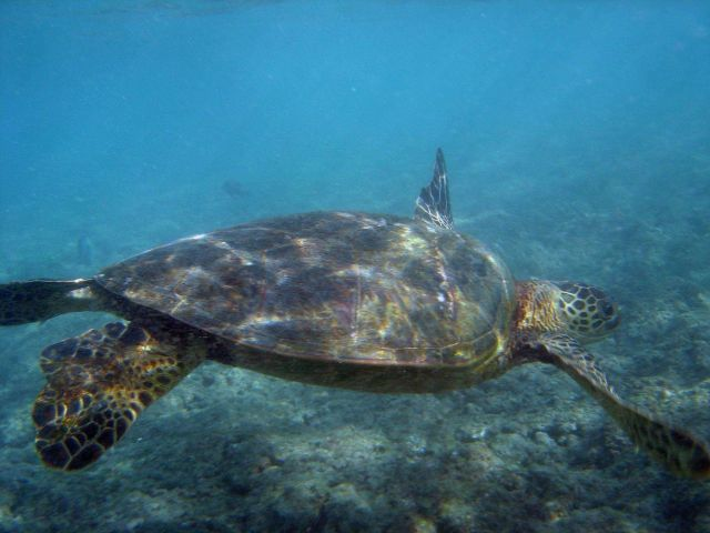 Green turtle swimming Picture