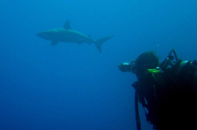 Large shark (Carcharinus sp.) Picture