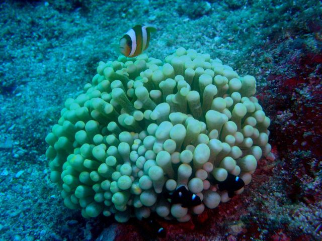Large anemone with an orange-fin anemonefish (Amphiprion chrysopterus) and three juvenile three-spot dascyllus (Dascyllus trimaculatus) Picture