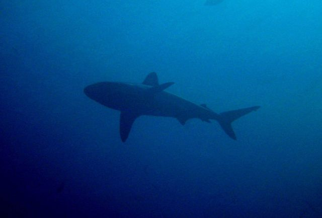 Gray reef shark (Carcharinus amblyrhynchos). Picture