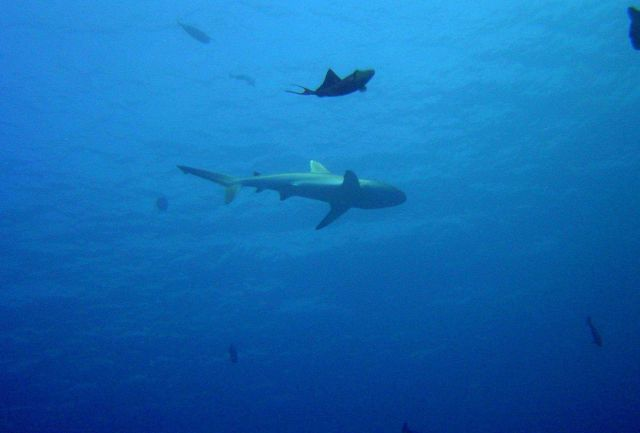 Whitetip shark (Triaenodon obesus). Picture