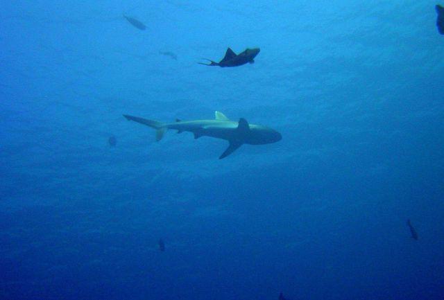 Whitetip shark (Triaenodon obesus). Picture