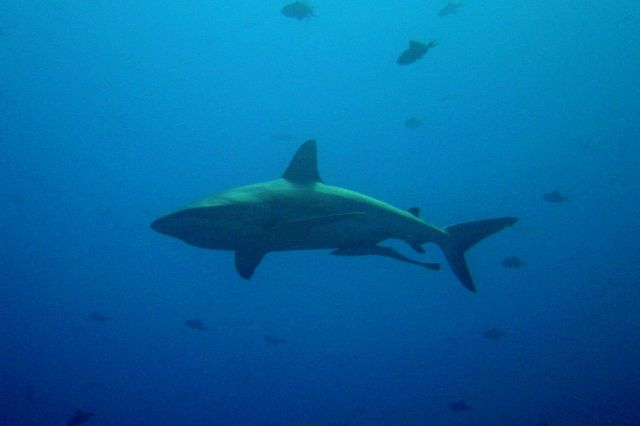 Large shark (Carcharinus sp.) with remora swimming below. Picture