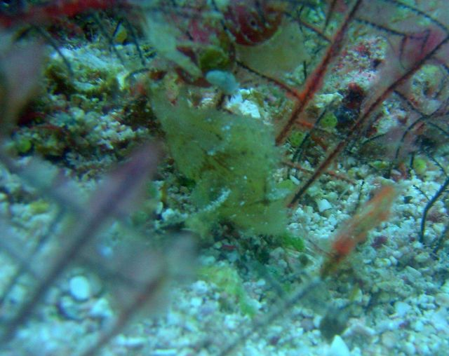 Frogfish? Picture