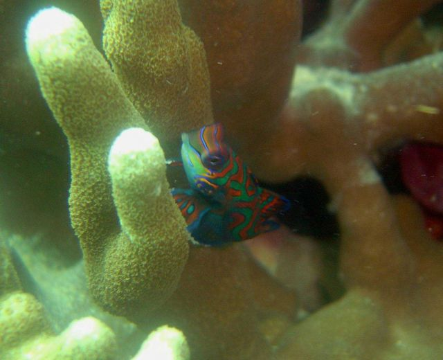 Mandarinfish (Synchiropus splendidus). Picture