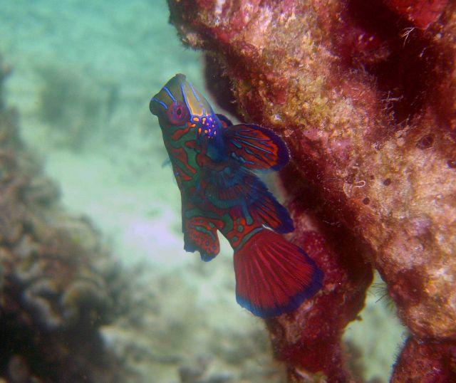 Mandarinfish (Synchiropus splendidus). Picture