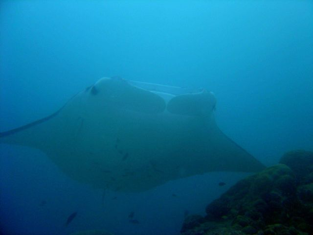 Manta ray (Manta birostris) at German Channel. Picture