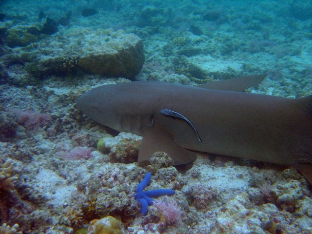 Nurse shark with remora close to gills. Picture