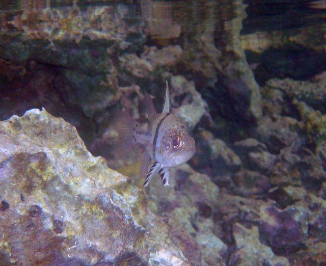 An orbiculate cardinalfish (Sphaeramia orbicularis) as seen head-on. Picture