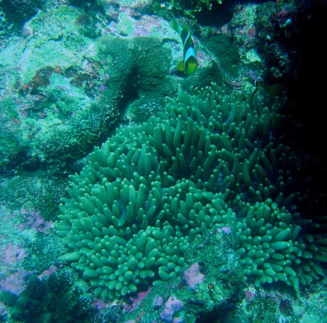 Large anemone and clownfish. Picture