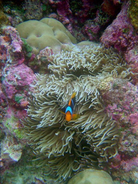 Large anemone and orange-fin anemonefish (Amphiprion chrysopterus) Picture