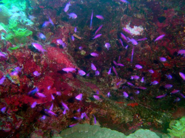 Reef scene with school of purple queen fish (Pseudanthias pascalus). Picture