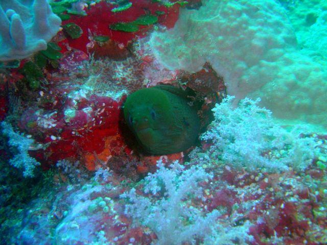 Moray eel (Gymnothorax sp.) Picture