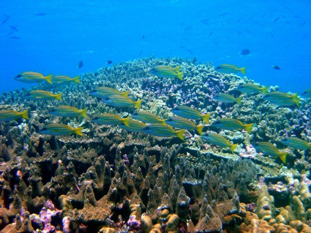 Reef scene with school of bluestripe snapper (Lutjanus kasmira). Picture