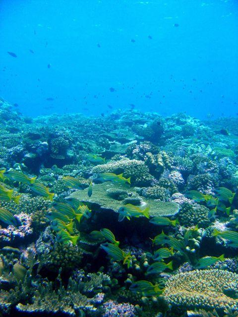 Reef scene with school of bluestripe snapper (Lutjanus kasmira). Picture
