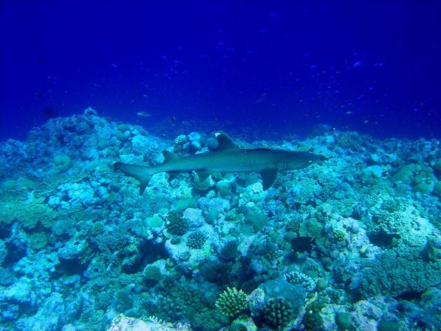 White tip shark (Trianodon obesus) with accompanying remora. Picture