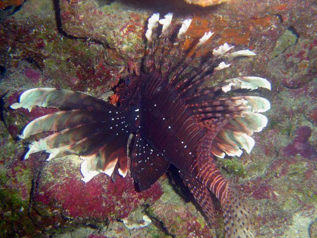Lionfish (Pterois volitans). Picture