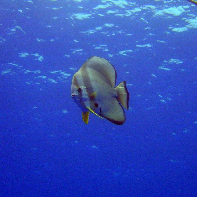 Circular spadefish (Platax orbicularis). Picture