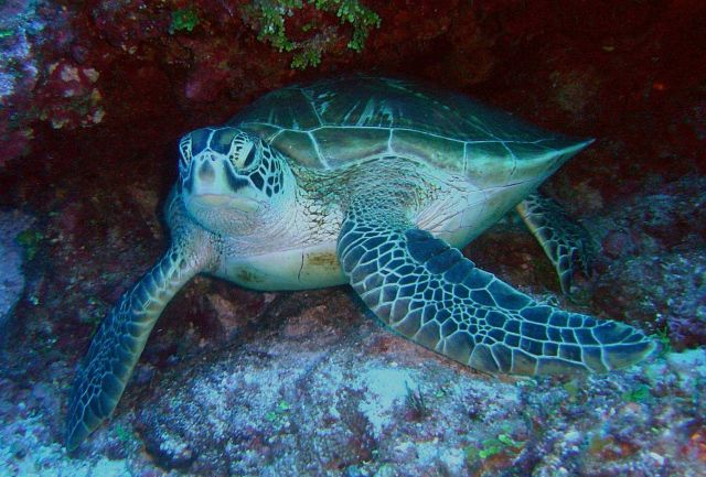 Green sea turtle. Picture