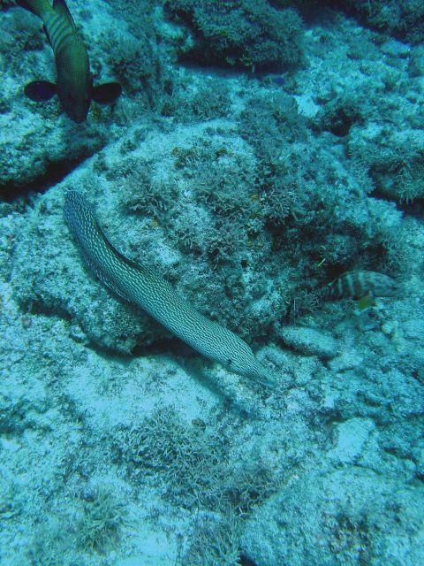 Whitemouth moray (Gymnothorax meleagris). Picture