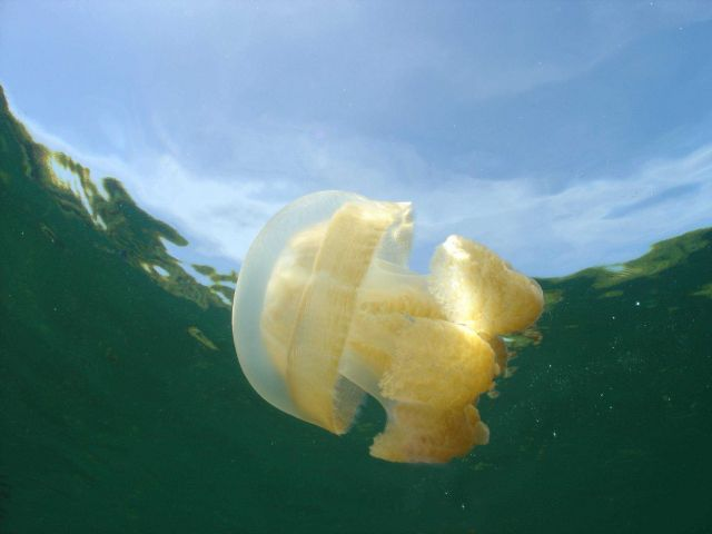 A solitary jellyfish as seen from below. Picture