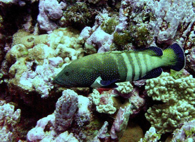 A peacock grouper (Cephalopholis argus) Picture