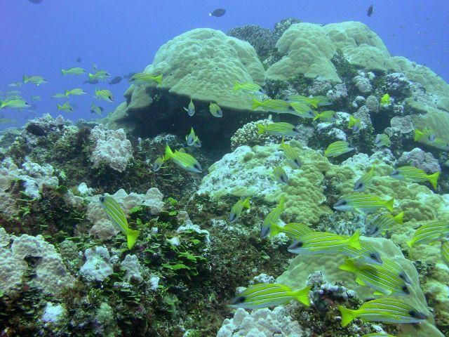 A reef scene dominated by bluelined snapper (Lutjanus kasmira) Picture