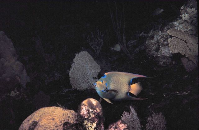 Queen angelfish - Holocanthus ciliarus Picture