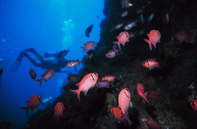 Blackbar soldierfish (Myripristis jacobus) Picture