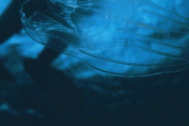 A ctenophore or comb jelly Picture