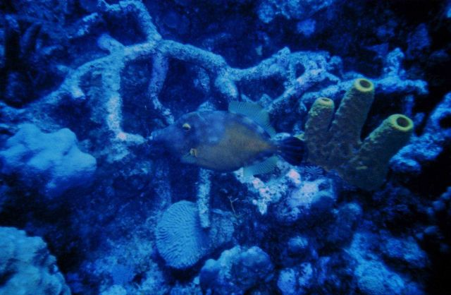 White-spotted Filefish (Cantherhines macrocerus) Picture