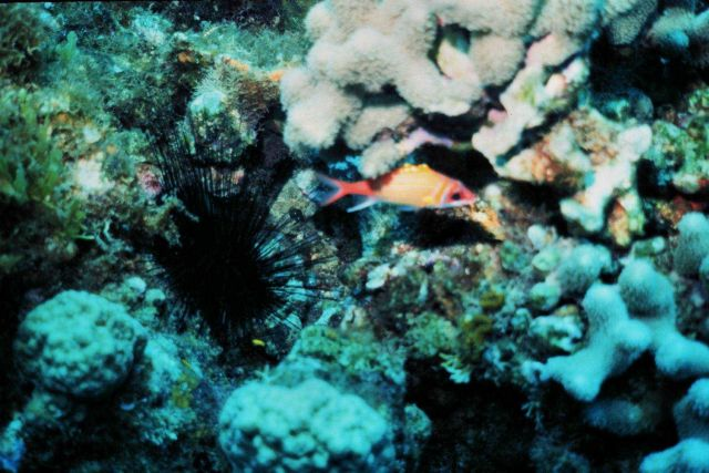 Longjaw squirrelfish (Neoniphon marianus) and large urchin Picture