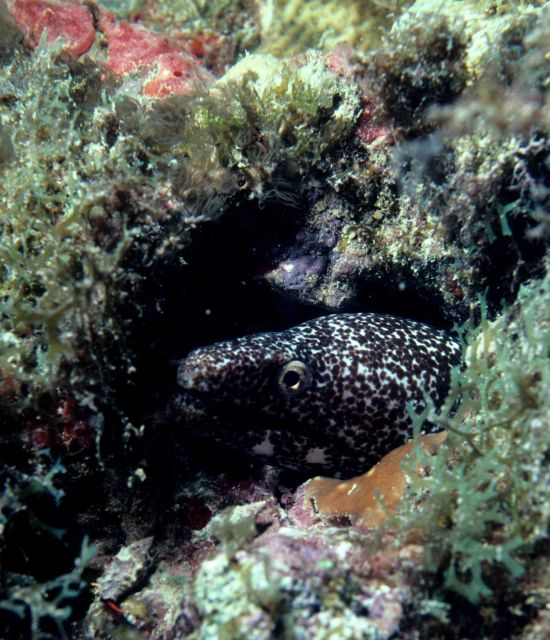 Spotted moray (Gymnothorax moringa) Picture