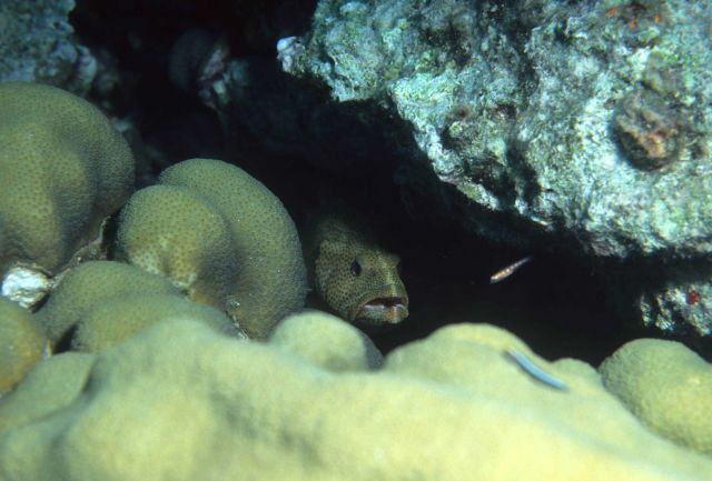 Rock hind (Epinephelus adscensionis) peering out from crevice Picture