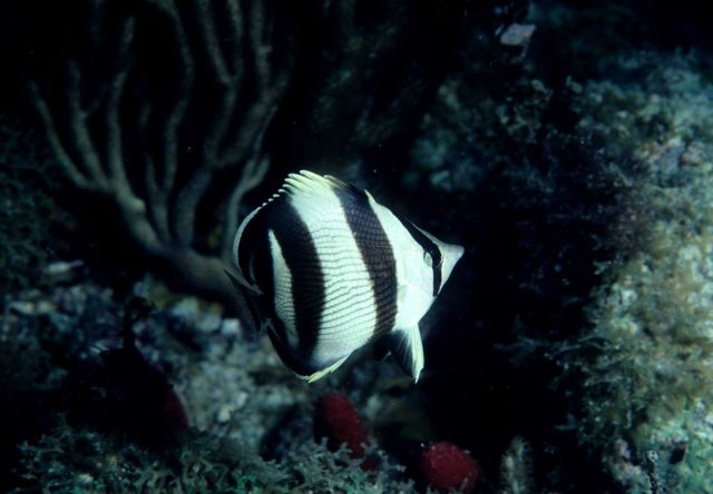 Banded butterflyfish (Chaetodon striatus) Picture