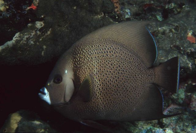 Gray angelfish (Pomacanthus arcuatus) Picture