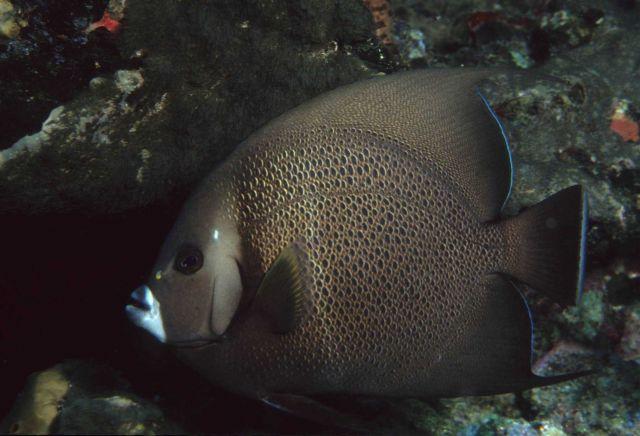 Gray angelfish (Pomacanthus arcuatus) Picture