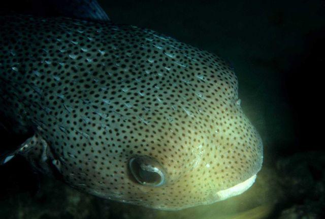 Porcupinefish (Diodon hystrix) Picture