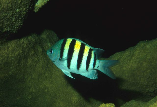 Sergeant major (Abudefduf saxatilis) Picture