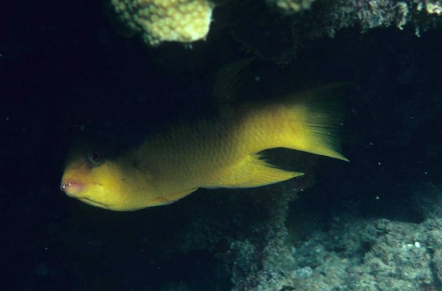 Spanish hogfish (Bodiamus rufus) Picture