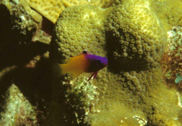 Fairy basslet (Gramma loreto) Picture