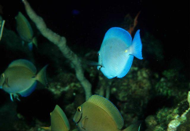 Blue tang (Acanthurus coeruleus) and ocean surgeonfish (Acanthurus bahianus) Picture