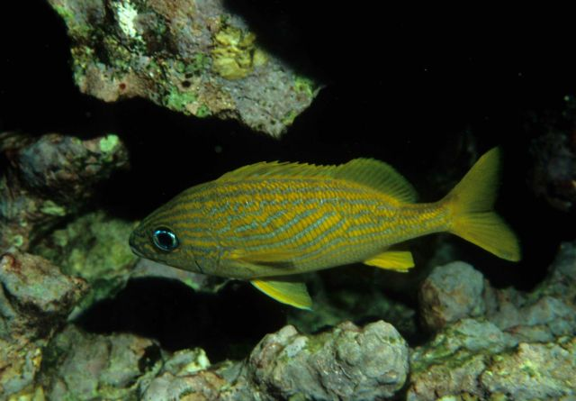French grunt (Haemulon flavolineatum) Picture