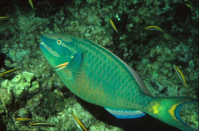 Stoplight parrotfish (Sparisoma viride) terminal phase Picture