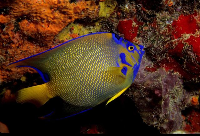 Queen angelfish (Holacanthus ciliaris) Picture