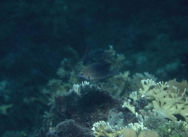 Threespot damselfish (Stegastes planifrons) Picture