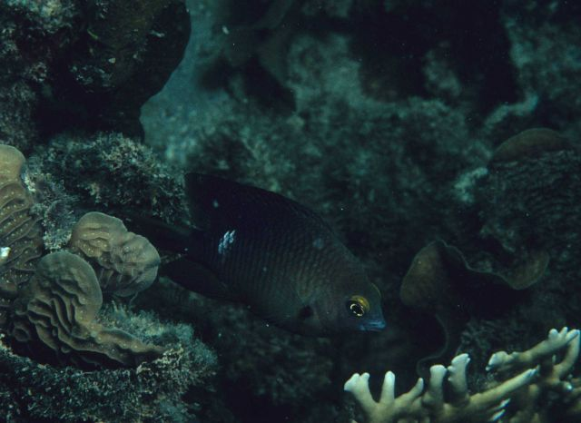 Threespot damselfish (Stegastes planifrons) Picture